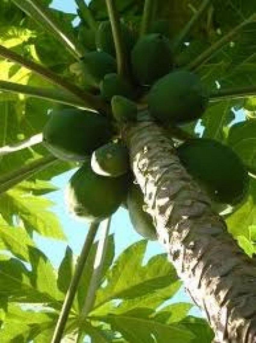Vanuatu Farmlet